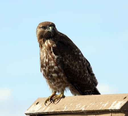 red tailed hawk: Immature Red Tailed Hawk.  Photo taken at Lower Klamath National Wildlife Refuge, CA.