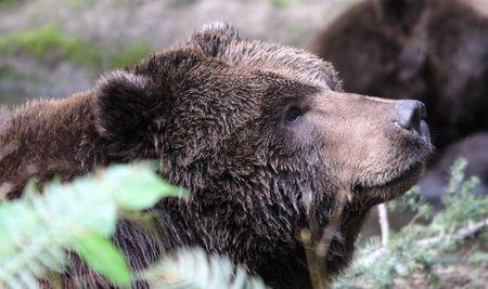 Grizzly Bear.  Photo taken at Northwest Trek Wildlife Park, WA.