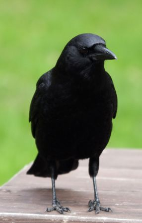 CrowRaven.  Photo taken at Northwest Trek Wildlife Park, WA.