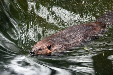 Beaver.  Photo taken at Northwest Trek Wildlife Park, WA. Stock Photo - 7862687