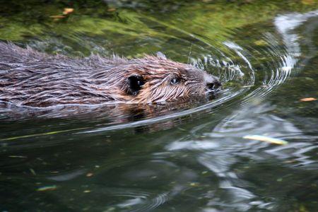 Beaver.  Photo taken at Northwest Trek Wildlife Park, WA.