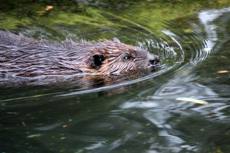 castor: Castor. Foto tomada en Northwest Trek Wildlife Park, Washington.