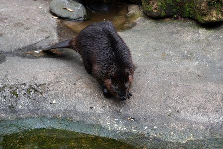 Beaver.  Photo taken at Northwest Trek Wildlife Park, WA. Stock Photo - 7862681
