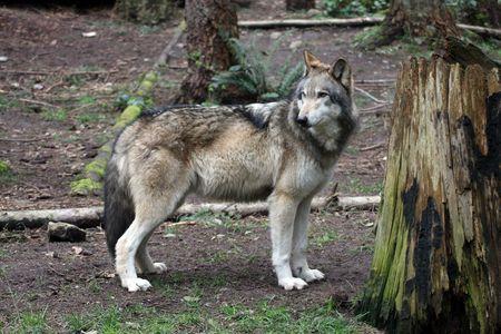 Grey Wolf.  Photo taken at Northwest Trek Wildlife Park, WA. photo