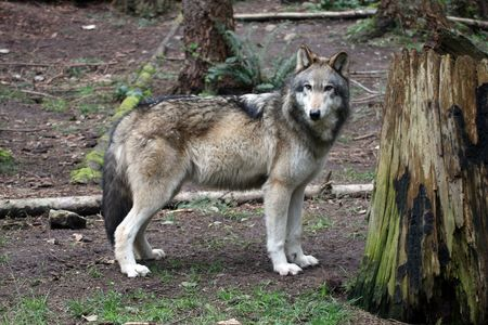 northwest: Grey Wolf.  Photo taken at Northwest Trek Wildlife Park, WA. Stock Photo