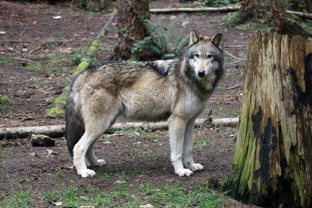 Grey Wolf.  Photo taken at Northwest Trek Wildlife Park, WA. 免版税图像