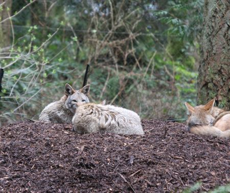 Coyote.  Photo taken at Northwest Trek Wildlife Park, WA. photo