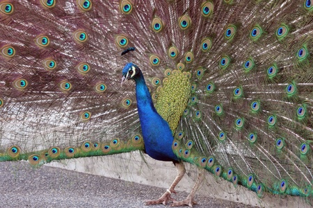 defiance: Peacock - Showing Colors.  Photo taken at Point Defiance Zoo, WA. Stock Photo