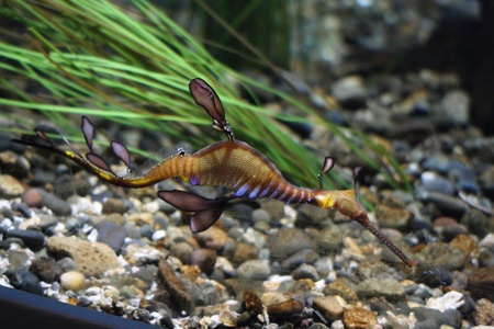 Leafy Sea Dragon.  Photo taken at Point Defiance Zoo, WA. photo