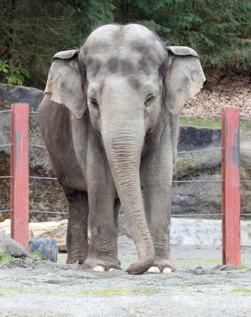 defiance: Elephant.  Photo taken at Point Defiance Zoo, WA.