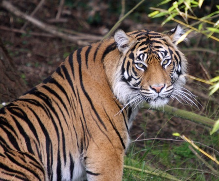 Sumatran Tiger.  Photo taken at Point Defiance Zoo, WA.