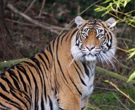 sumatran tiger: Panthera tigris sumatrae.  Foto scattata al punto sfida Zoo, WA.