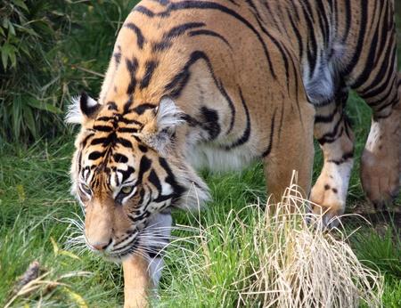 defiance: Sumatran Tiger.  Photo taken at Point Defiance Zoo, WA.