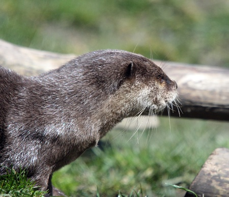 clawed: Asian Small Clawed Otter.  Photo taken at Point Defiance Zoo, WA.