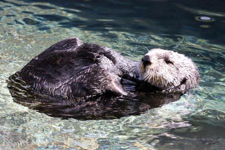 sea otter: Sea Otter Stock Photo