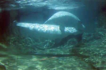 defiance: Beluga Whale   Photo taken at Point Defiance Zoo, WA  Stock Photo