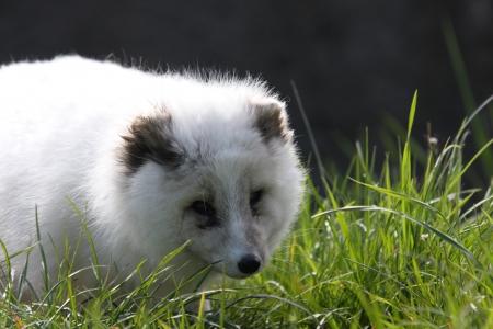 artic: Artic Fox
