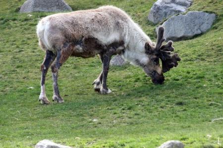 Caribou   Photo taken at Point Defiance Zoo, WA