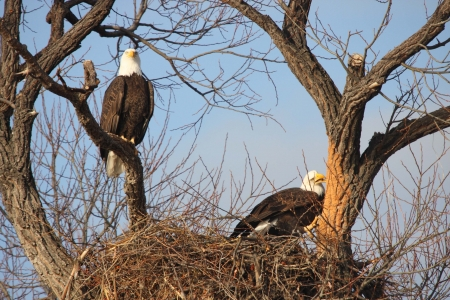 Bald Eagle Pair - taken at Lower Klamath National Wildlife Refuge photo