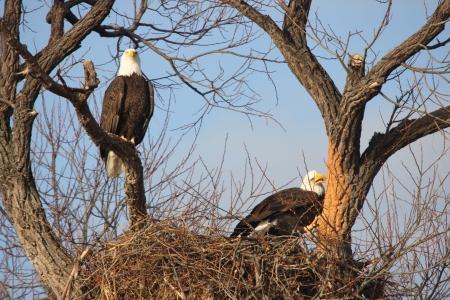 Bald Eagle Pair - taken at Lower Klamath National Wildlife Refuge Stock Photo