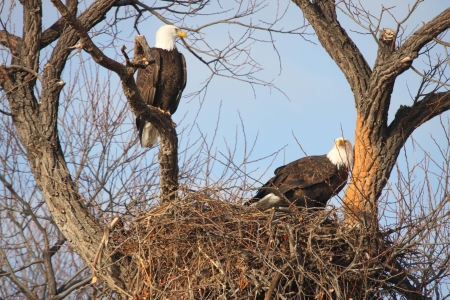 Bald Eagle Pair - taken at Lower Klamath National Wildlife Refuge Stock Photo
