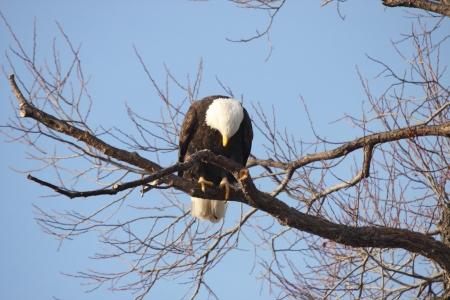 klamath: Bald Eagle - taken at Lower Klamath National Wildlife Refuge Stock Photo