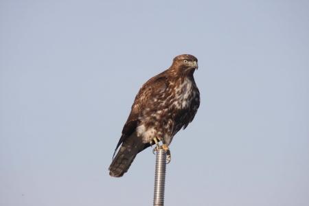 klamath: Immature Red-Tailed Hawk - taken at Lower Klamath National Wildlife Refuge Stock Photo