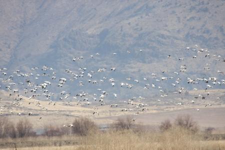 lower klamath: Snow Goose Flock - taken at Lower Klamath National Wildlife Refuge