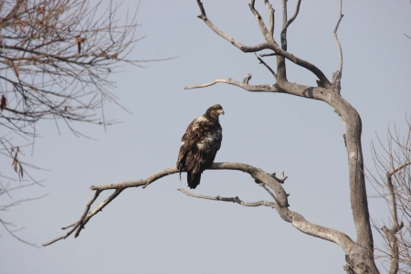 Immmature Bald Eagle on Branch photo