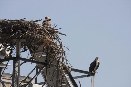 osprey: Osprey on Columbia River Stock Photo
