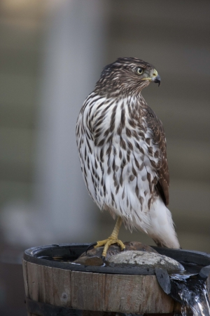 immature: Immature Cooper s Hawk on Fountain