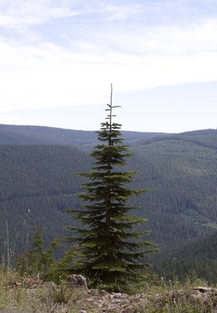 mount hood national forest: Solitary Tree - Photo taken onForest Service road 58 to High Rock, Mount Hood National Forest, Oregon. Stock Photo