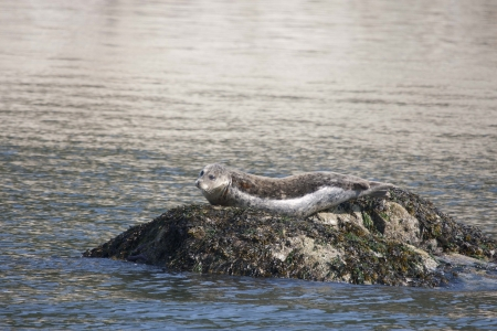 Harbor Seal - photo taken from Island Adventures III tour boat, Anacortes Washington.