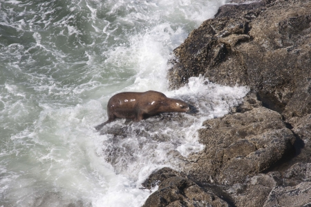 Steller Sea Lion - Photo taken at Seal Rock on the Oregon Coast  photo