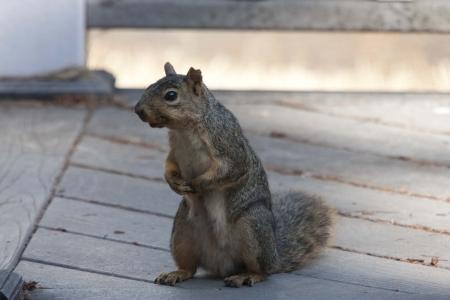 Eastern Gray Squirrel - Photo taken in our yard in Portland, Oregon