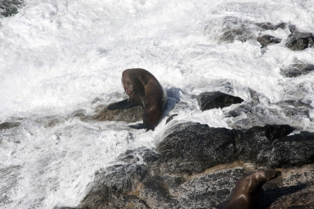 Steller Sea Lion - Photo taken at Seal Rock, Oregon  photo