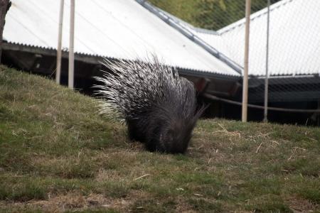 Crested Porcupine Imagens