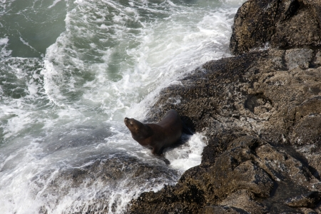 Steller Sea Lion photo