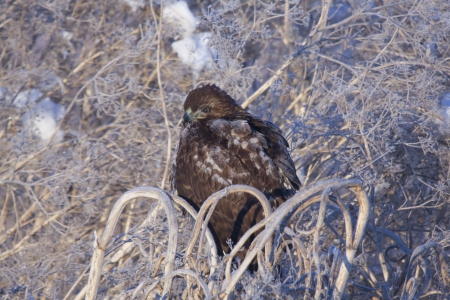 lower klamath: Immature Red Tailed Hawk on Frost Covered Tumbleweed Stock Photo