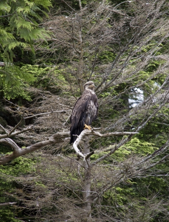 Immature Bald Eagle in Tree photo