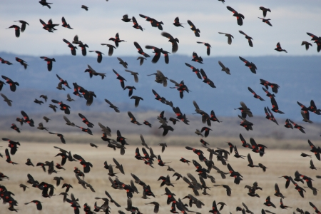 Flock of Red Winged Blackbirds   Photo taken at Lower Klamath National Wildlife Refuge, California  photo