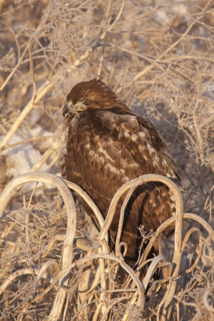 lower klamath: Immature Red Tailed Hawk with frost on feathers; sitting in tumbleweed.  Photo taken at Lower Klamath National Wildlife Refuge, California.