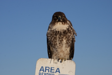 lower klamath: Immature Red Tailed Hawk with frost on feathers; sitting on sign.  Photo taken at Lower Klamath National Wildlife Refuge, California.