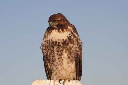Immature Red Tailed Hawk with frost on feathers; sitting in tumbleweed.  Photo taken at Lower Klamath National Wildlife Refuge, California. photo