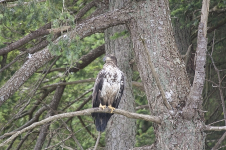snag: Immature Bald Eagle perched on limb.  Photo taken near Stuart Island, BC Canada. Stock Photo