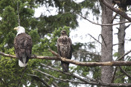 snag: Aduld and Immature Bald Eagles perched in tree.  Photo taken near Stuart Island, BC Canada. Stock Photo