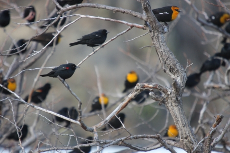 Flock of Yellow Headed Blackbirds.  Photo taken at Lower Klamath National Wildlife Refuge, California. photo