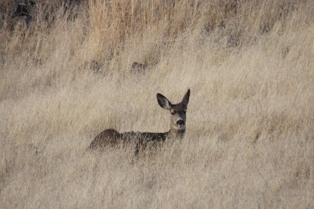 Mule Deer.  Photo taken at Lower Klamath National Wildlife Refuge, California. photo