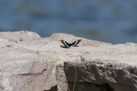 Butterfly  at Mount Saint Helens National Volcanic Monument, Washington. photo