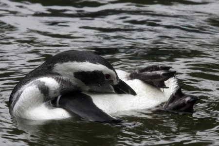 defiance: African Penguins at Point Defiance Zoo, Washington. Stock Photo